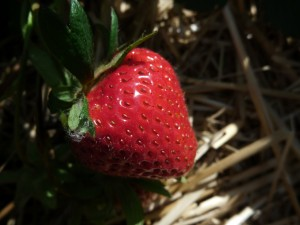 Erdbeere09